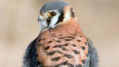 Nest Box Plans for American Kestrel