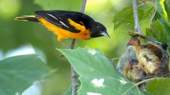 baltimore oriole nest by Dave Wendelken