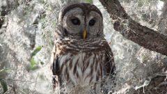 Build a Nest Box for Barred Owls