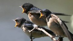 barn swallow fledglings by qmnonic