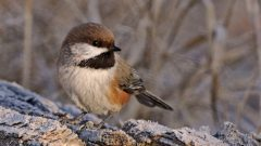 boreal chickadee by Ron Kube