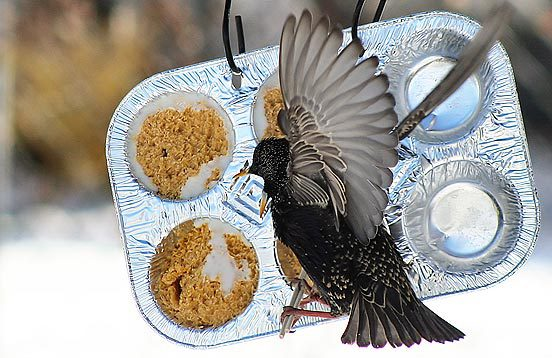 starling at feeder