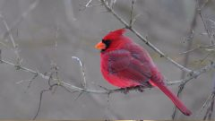 Built to Sing: The Syrinx of the Northern Cardinal
