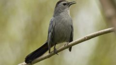 An Expert Mimic: The Gray Catbird