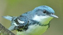 Declining Numbers of Cerulean Warblers