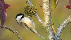 Chickadee on a seed pod