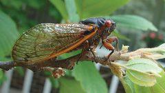 Birds are less abundant when periodic cicadas emerge