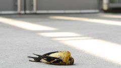 Why Birds Hit Windows—and How You Can Help Prevent It