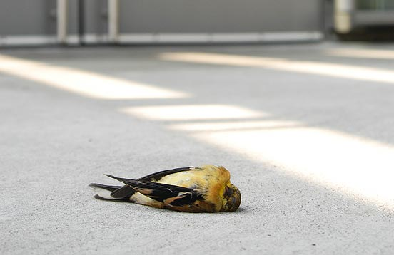 american goldfinch killed by window strike