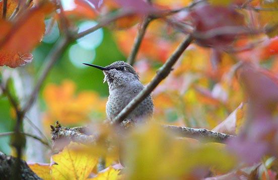 hummingbird in fall foliage