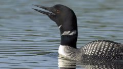 I'm Here, Where Are You?: Wails of the Common Loon