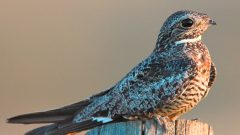 Zoom!: The Aerial Display of the Common Nighthawk