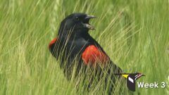 red-winged blackbird behavior
