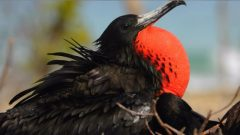 magnificent frigatebird display