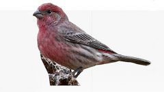 How to Identify the 3 Red Finches: Cassin's, House, and Purple