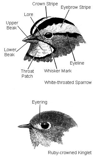 field marks of the head white-throated sparrow