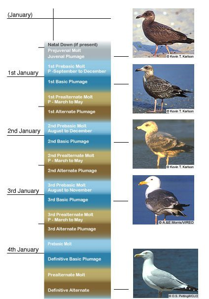 molt sequence for Herring Gull