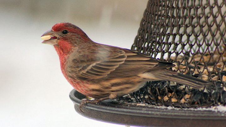 House Finch at feeder