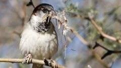 House Sparrow by Joan Gellatly