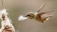 hummingbird gathers nest material