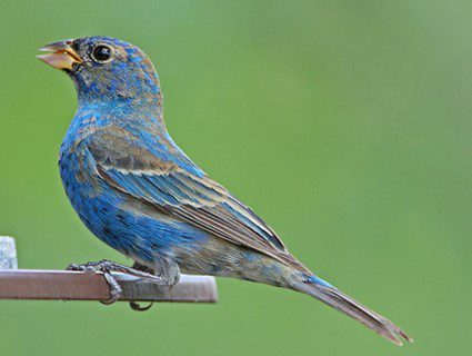 winter/spring immature male indigo bunting molting