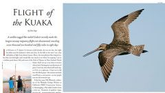 Flight of the Kuaka: A Godwit Makes the Longest Nonstop Flight Ever Recorded