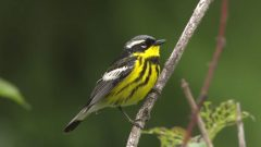 Identify Spring Warblers With These Expert Tips
