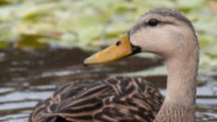 identifying hybrid Mottled Ducks