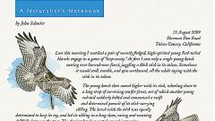 Naturalist's Notebook: Young Red-tailed Hawks