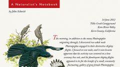 Naturalist's Notebook: Phainopeplas