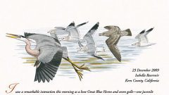 Naturalist's Notebook: Great Blue Heron Fends Off Gulls