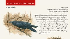 Naturalists' Notebook: Common Raven Raids Cliff Nests