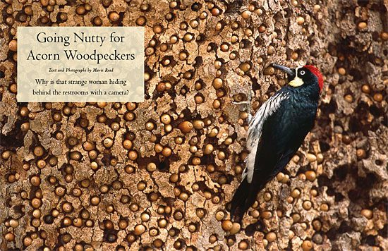photogenic Acorn Woodpecker