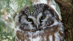 Build a Nest Box for Boreal Owl