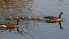 Build a Nest Structure for Canada Geese