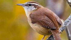 Build a Nest Box for Carolina Wrens