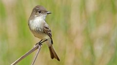 Build a Nest Structure for Eastern Phoebe