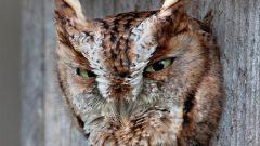 Build a Nest Box for Eastern Screech-Owls