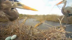 great blue herons via cornell lab bird cams