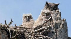 great horned owls by Christine Haines