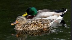 Build a Nest Structure for a Mallard