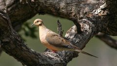Build a Nest Structure for Mourning Doves