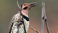Build a Nest Box for a Northern Flicker