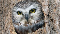 Build a Nest Box for Northern Saw-whet Owls