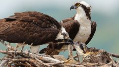 Build a Nest Structure for Osprey