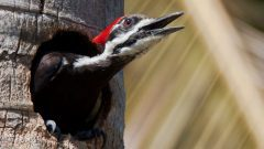 Pileated woodpecker by Kurt Hasselman