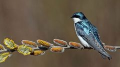 tree swallow by Barb D