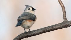 Build a Nest Box for a Tufted Titmouse