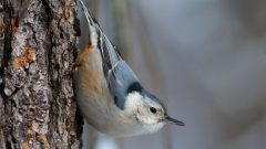 Build a Nest Box for White-breasted Nuthatches