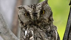 Build a Nest Box for Western Screech-Owls